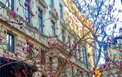 Au înflorit superbele magnolii! Magnoliile și BNR